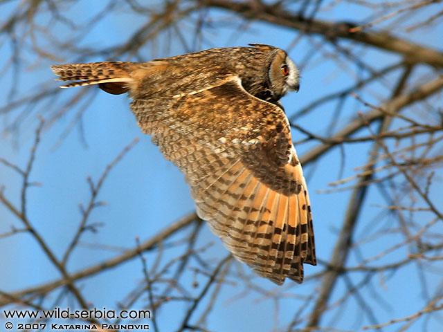 Long-eared Owl in flight Copyright: Katarina Paunovic