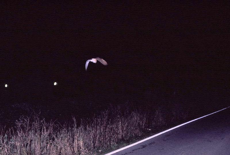 Barn Owl in headlights 1 Copyright: Inigo Fajardo