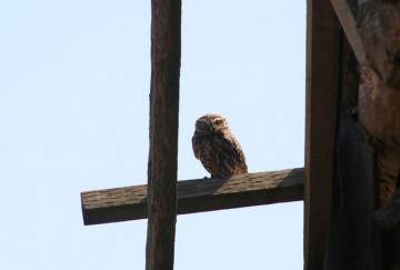 Little Owl 2 Copyright: Barn Owl Trust