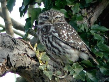 Little Owl 1 Copyright: Barn Owl Trust / Nick Sampford