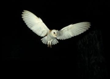 Barn Owl flying in dark Copyright: Kevin Keatley