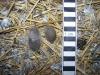 Fox faeces 4 Copyright: Barn Owl Trust