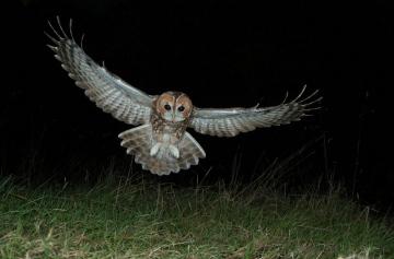 Tawny Owl in flight Copyright: Stephen Powles