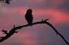 Barn Owl at dusk 2 Copyright: Phil Mclean
