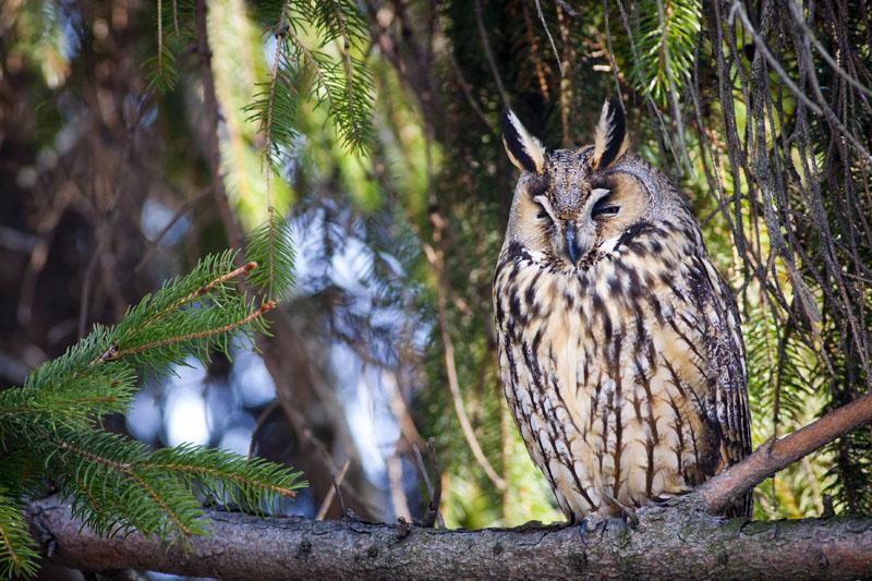 Long-eared Owl Copyright: Zoltan Simon