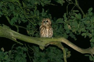 Tawny Owl Copyright: Barn Owl Trust / Nick Sampford