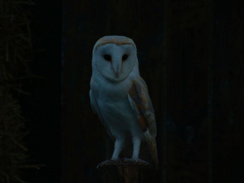 Barn Owl at dusk 1 Copyright: Melanie Lindenthal