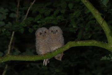 Tawny Owl fledgelings Copyright: Stephen Powles