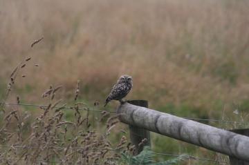 Little Owl juvenile Copyright: Barn Owl Trust