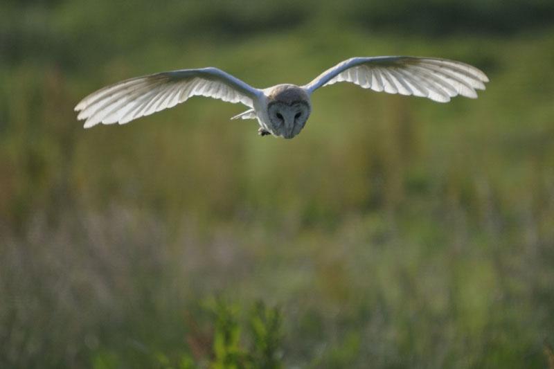 Barn Owl hunting Copyright: Howard Gilmour