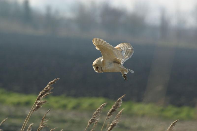 Barn Owl in flight 3 Copyright: Barn Owl Trust / Nick Sampford