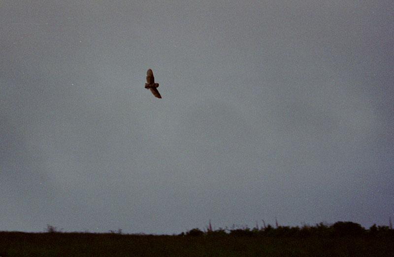 Barn Owl in flight at dusk 3 Copyright: Barn Owl Trust