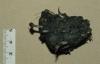 Barn Owl pellet with protruding bone Copyright: Barn Owl Trust