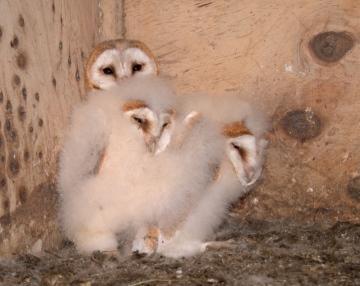 Barn Owl nestlings 1 Copyright: Kevin Keatley