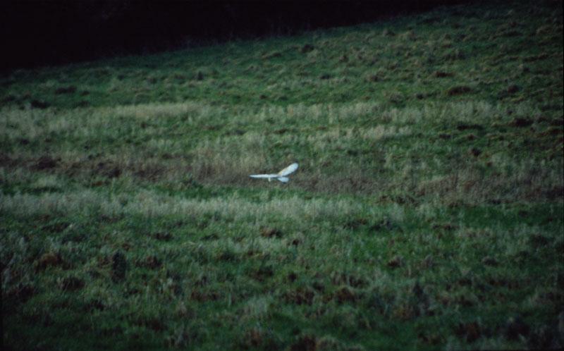 Barn Owl in flight 5 Copyright: Barn Owl Trust