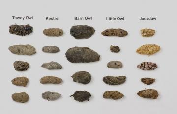Bird pellets (dried) Copyright: Kevin Keatley