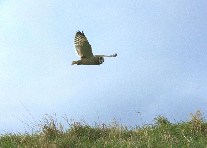 Short-eared Owl in flight Copyright: Barn Owl Trust / Nick Sampford