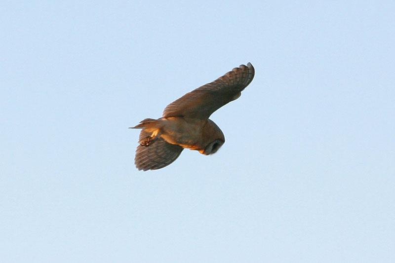 Barn Owl in flight 2 Copyright: Barn Owl Trust / Nick Sampford