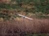 Barn Owl in flight 4 Copyright: Barn Owl Trust
