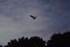 Barn Owl in flight at dusk 4 Copyright: Nick Pitts
